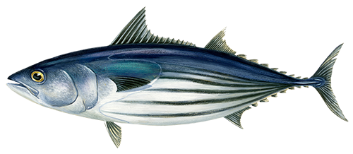 Dryžasis tunas