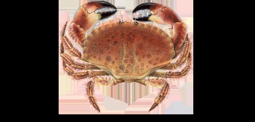 Paprastasis uolinis krabas