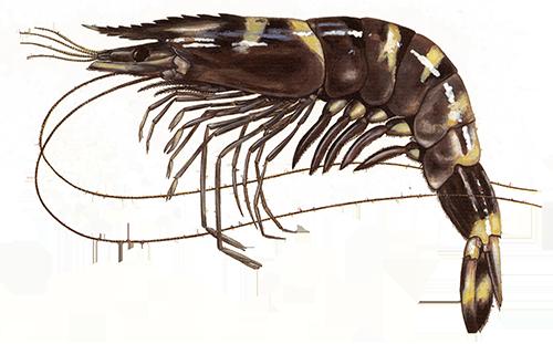 Tropinės krevetės: didžioji krevetė, tigrinė krevetė ir kitos