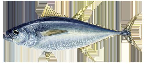 Gelsvauodegis tunas