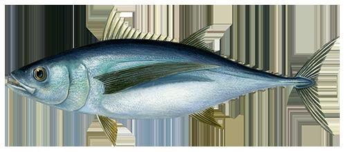 Ilgauodegis tunas